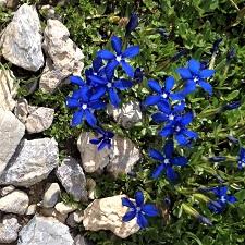 Fleurettes des Alpes